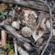 Morel mushrooms grow wild in wooded areas.