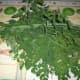 Moringa leaves with Lemongrass