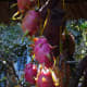 dragon-pitaya-fruit-nutritional-and-health-benefits