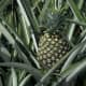 Pineapple on its plant