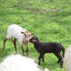 Lamb Smart&Fun with lamb On Hold
