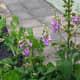 Foxglove in the vegetable garden