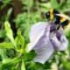 Bee on Hibiscus