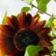 Sunflower in Organic Garden