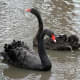 Tropic America area Black Swans from meskerparkzoo.com