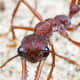 Killer ants do exist. They hunt in numbers and can devour any living creature on their path.  You can't just step on millions of them so avoiding them is certainly the best and only option you have.