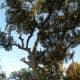 Ulmus Crassifolia - Cedar Elm  - Brushy Creek Sports Park - Cedar Park TX