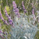 Phacelia congesta -- Blue Curls - Brushy Creek Sports Park - Cedar Park TX