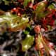 Quercus Sinuata Var. Breviloba - White Shin Oak - Brushy Creek Sports Park - Cedar Park TX