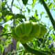 Unripe green Zapotec tomato.