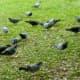 Numerous pigeons