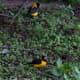 Black-&-Yellow Grosbeak Mycerobas icterioides in Kullu
