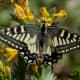 Common Yellow Swallowtail ( Papilio machaon) found at Kullu during Sar Pass Trek on way to Zirmi Thaatch(11000 ft.).