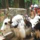 Yaks in Manali
