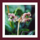 """One of two marvelous Pipsissewa photos from a great website called """"Found in the Fells""""."""