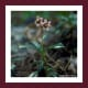 Photo of Pipsissewa plant attributed to Dave Powell, from the USDA Forestry Images, Bugwood Photos, under the Creative Commons Attribution 3.0 License.