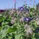 Borage, edible flower as companion plant in vegetable garden