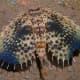 Stunning eye mimicry in Dactyoptlena underwater