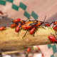 Oncopeltus fasciatus,  the Milkweed Bug feeds on the milkweed sap and contain nasty toxins with an unpleasant taste