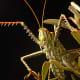 Predatory Katydid 'Cholobalius Leucoviridis' mimics the noise of a female Cicada to attack unsuspecting males to prey on them
