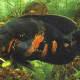 The Astronotus Ocellatus has false eye markings on its tailfin to fool the predatory piranhas.