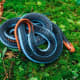 A blue Coral snake is unafraid in the open