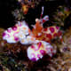 The Harlequin shrimp has unique decorations to hide among the coral reef
