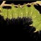 Imperial moth caterpillar, green form