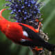 The I'iwi bird has a long, downward-curving bill which is perfect for sipping nectar from tubular flowers.  Climate change and diseases such as malaria have caused this beautiful bird's numbers to decrease over the years.