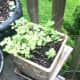This oregano has been with me 10 years now. I strip the leaves and add to chicken soup.