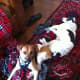 Harnessing the Rat Terrier while the Jack Russell Dachshund mix relaxes.