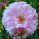 """Hybrid Rugosas are """"doubles"""" having numerous, informally-formed petals."""
