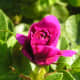 what-is-a-rugosa-rose