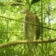 A Crested Serpent Eagle