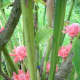 Torch Ginger, Red Ginger Lily or Philippine Waxflower