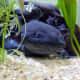 Melanoid axolotl