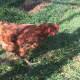 Brook the Chook (our original hen)