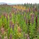 Quinoa cultivation in Bolivia