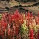 Quinoa cultivation in Peru