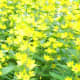 yellow star shaped flowers