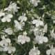Laguna™ White - Lobelia erinus - white flowers all season on cascading plants