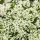 Diamond Delight™ Euphorbia hybrid - is the most vigorous double flowered Euhporbia hybrid