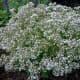 Clouds of small white flowers float on densely branched plants from spring - fall.