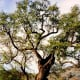 This oak tree on the property is said to be one of the oldest of its kind in California.