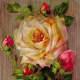 Vintage roses on a wood background clip art