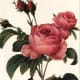 Pink roses clipart