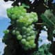 Lakemont Seedless available at millernurseries.com