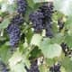Frontenac available at falconervineyards.com