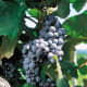 Buffalo grapes available at millernurseries.com