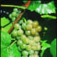 Traminette grapes available at millernurseries.com